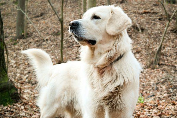 USA: un viaggio tra gli allevamenti di razze canine più amate dagli statunitensi
